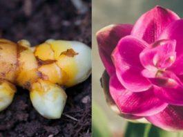 Комнатная куркума краше орхидеи. Ухаживать практически не надо, а пользы целый вагон!